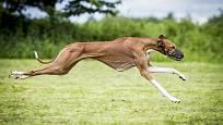 Azavak neboli azavžský chrt je psí plemeno typu chrt.
