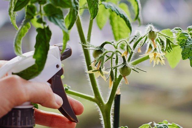 Phytophthoru pomůže zastavit i kefír a mléčná syrovátka, opět ve směsi s vodou a stačí s ní ošetřit všechny napadené části rostlin.