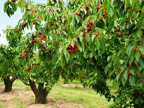 Třešně i višně jsou jedny z nejoblíbenějších plodů zahrad.