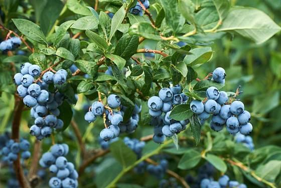 Zahradní borůvky patří mezi nejzdravější ovoce