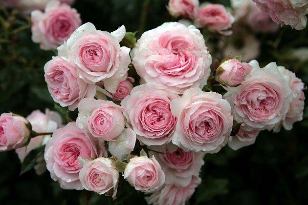 Růže odrůdy Larissa