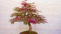 Japonský javor ve formě bonsaje. Listy se zbarví a opadají stejně, jako u velkého stromu