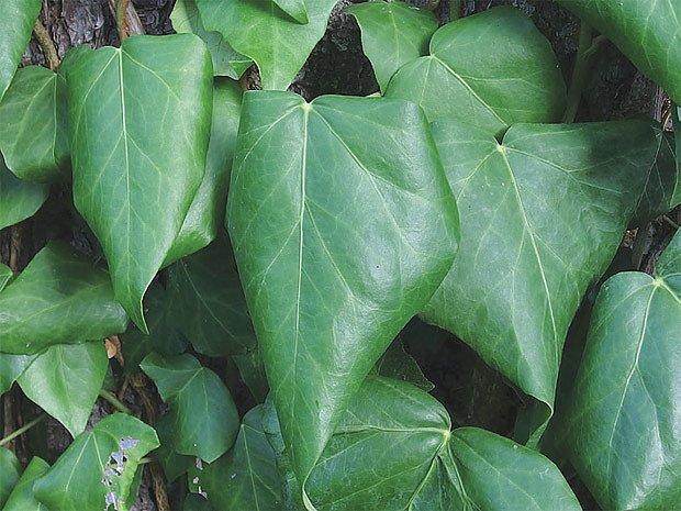 Břečťan kavkazský (Hedera colchica)