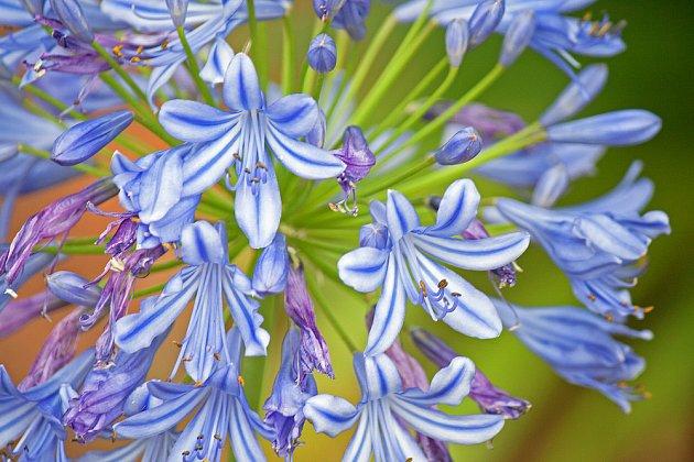 Kalokvěty mají půvabné kvítky trubkovitého tvaru spojené do velkých kulatých květenství.