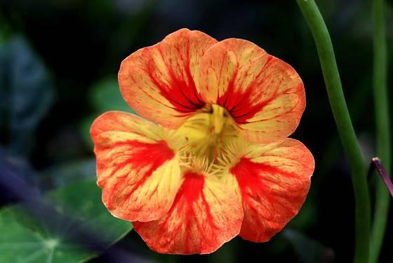 Lichořeřišnici můžeme pěstovat v řadě odrůd, typické jsou teplé barvy