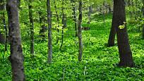 Medvědímu česneku se nejlépe daří ve vlhké úrodní půdě a polostínu.