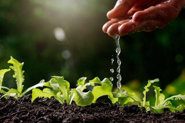 Saláty rostou rychle i v září, pokud mají dostatek vláhy