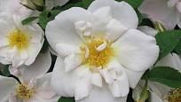 Sadová růže, odrůda Nevada