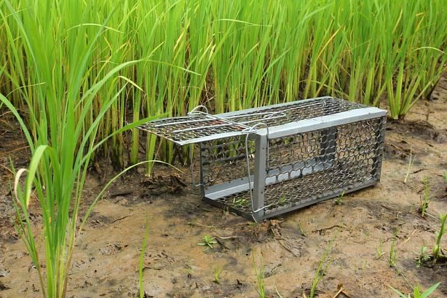 Na odchyt kun se používají živolovné pasti zvané sklopce, někdy ovšem není snadné do nich kunu nalákat.