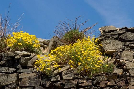 Tařici skalní se skvěle daří i na starých hradbách.