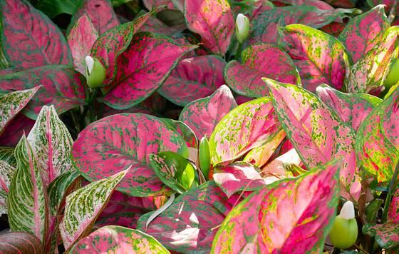 Užovník dvoubarevny (Caladium bicolor)