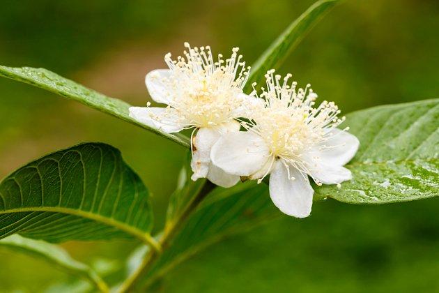 jahodový stromek, Psidium guajava, v květu