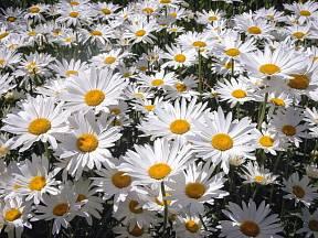 Kopretina velkokvětá, Leucanthemum maximum