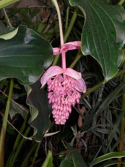 Tupoušek pyšný (Medinilla magnifica) - keř původem z Filipín.