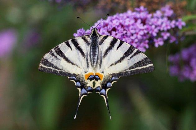 otakárek ovocný, stejně jako další motýli, miluje komuli Davidovu