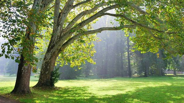 Platan javorolistý, ideální okrasný strom do parků i velkých zahrad