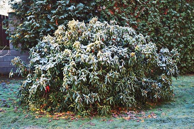 Rododendron potřebuje vláhu i v zimě