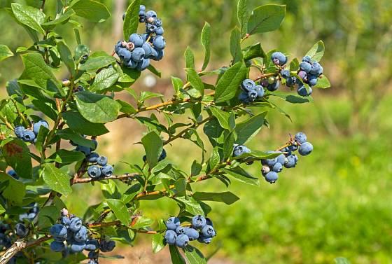Velkoplodá zahradní borůvka - brusnice chocholičnatá (Vaccinium corymbosum).