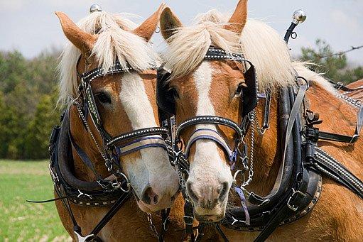chladnokrevní - tažní koně
