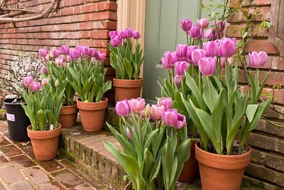 Tulipány v nádobách vás potěší při každém návratu domů