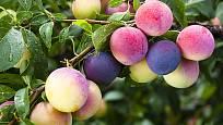Slivoně mají mnoho pomologických skupin i odrůd