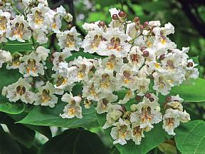 květenství katalpy