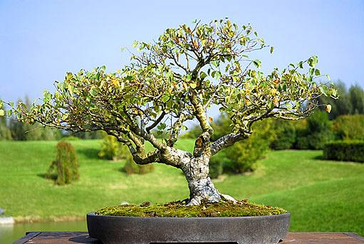 bonsaj - bříza
