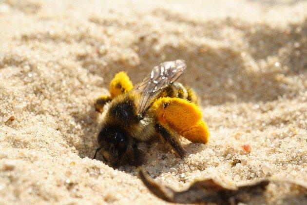 samotářská včela chluponožka