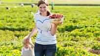 Na jahody může vyrazit celá rodina. Ale menší děti musíte hlídat.