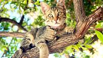 Kočky na zahradách spatříme často v korunách stromů.