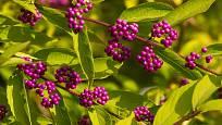 Plody krásnoplodky bodinierovy (Callicarpa bodinieri) jsou tmavorůžové až purpurové.