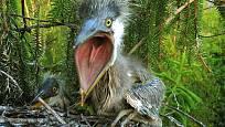 volavka popelavá (Ardea cinerea) - mláďata