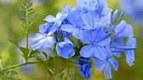 květy olověnce ouškatého