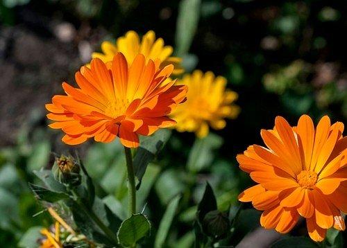 Měsíček lékařský (Pot marigold)