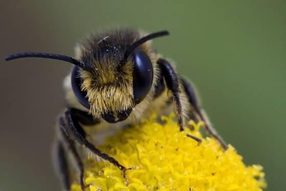 Včela - ilustrační snímek
