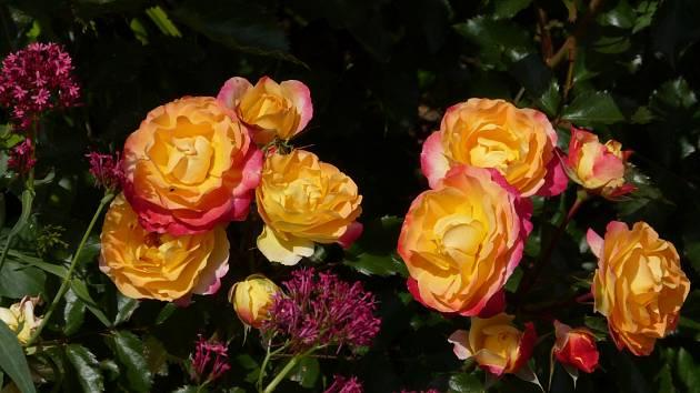 Růže odrůdy Firebird
