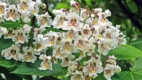 Kvetoucí katalpa je klenotem zahrady