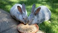 U modrých králíků rex je ceněná světlá srst
