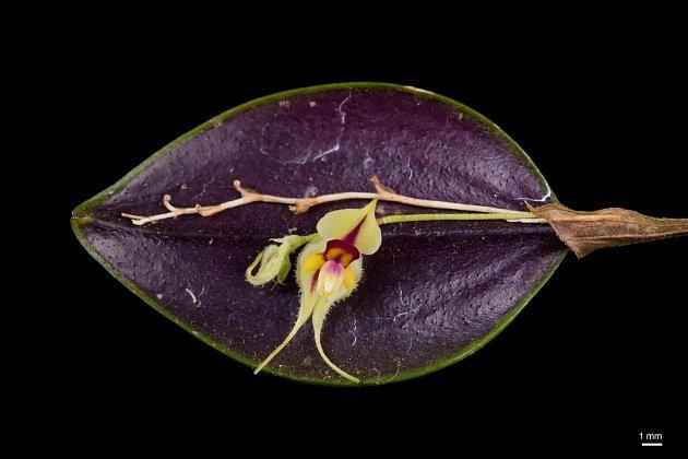 Lepanthes caloura se vyznačuje drobnými květy.