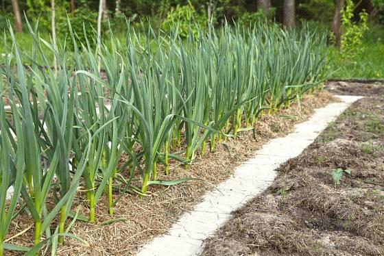 Organický mulč půdu dokonale chrání. Navíc se postupně rozkládá a obohacuje půdu o živiny a humus