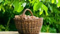 I mladý ořešák vám na podzim daruje plný koš ořechů