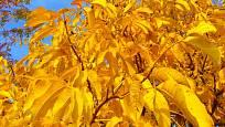 V záři podzimního slunce připomíná listí ořešáků zlato.