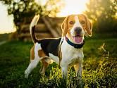 Proč psi vrtí ocasem?