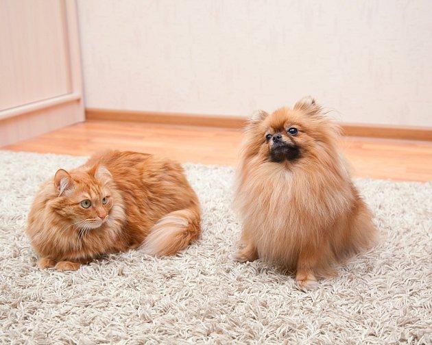 Pomeranian a kočka tvoří dobrou dvojku.
