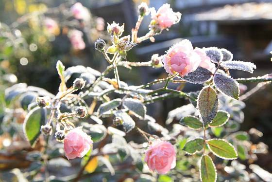 Mnohokvěté a půdopokryvné růže kvetou často až do zámrazu. První lehké mrazíky je neohrozí.