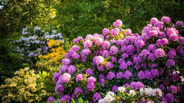Pěnišníky (Rhododendron) dobře prospívají v kyselých půdách.
