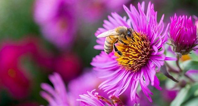 Turany i astry nasytí před zimou včely, čmeláky i rovněž užitečné pestřenky