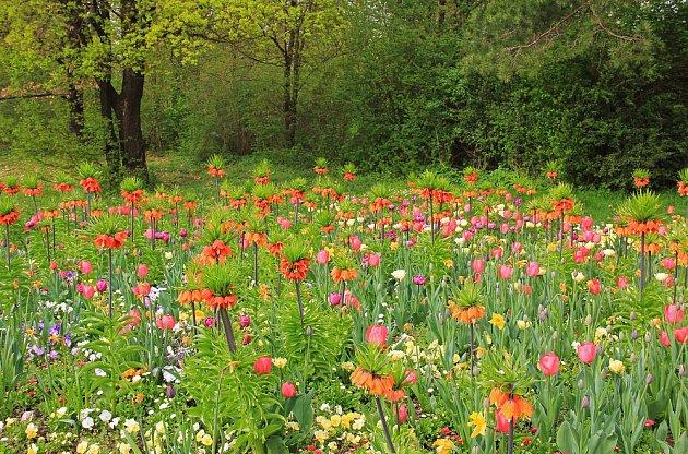 velkokvěté řebčíky a tulipány
