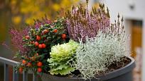 Krásnohlávek přináší zajímavé zpestření podzimních a zimních truhlíků.