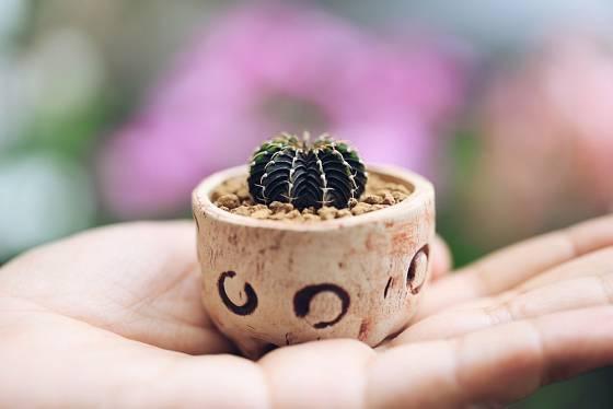Kaktusy do dětského pokoje volíme takové, které nemají příliš pichlavé trny, jako například Gymnocalycium.
